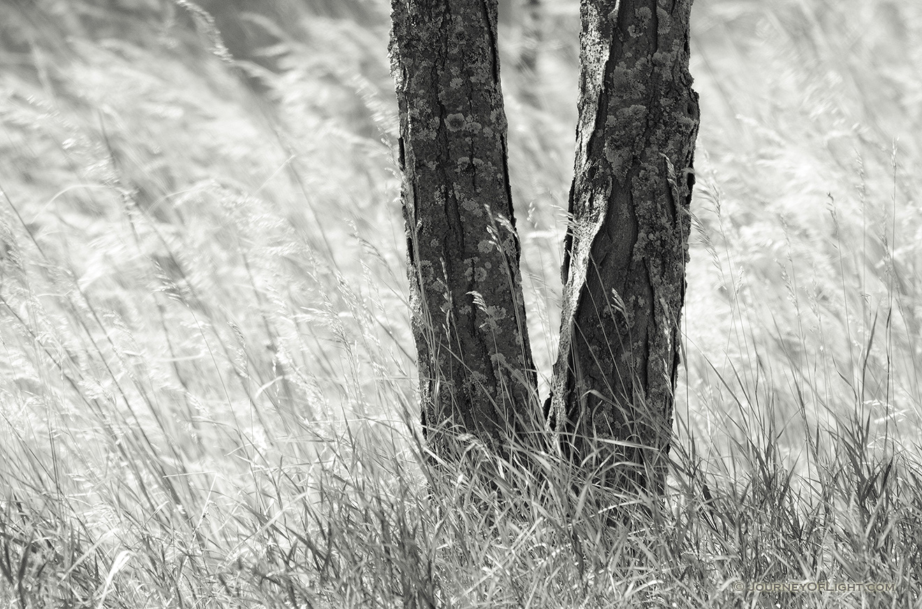 A tree is surrounding by native prairie grass blowing in the wind at Chalco Hills Recreation Area in Nebraska. - Chalco Hills Picture