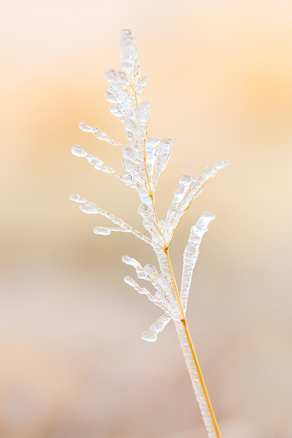 A Nebraska photograph of ice on prairie grass at Fort Robinson State Park in northwestern Nebraska. - Nebraska Photography