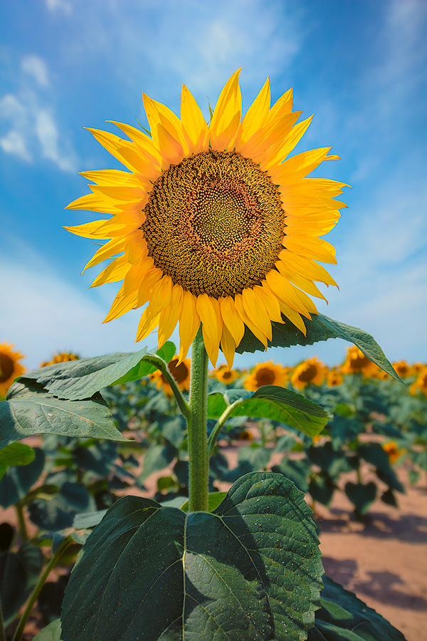 A nature photograph of a sunflower in rural South Dakota. - South Dakota Photography