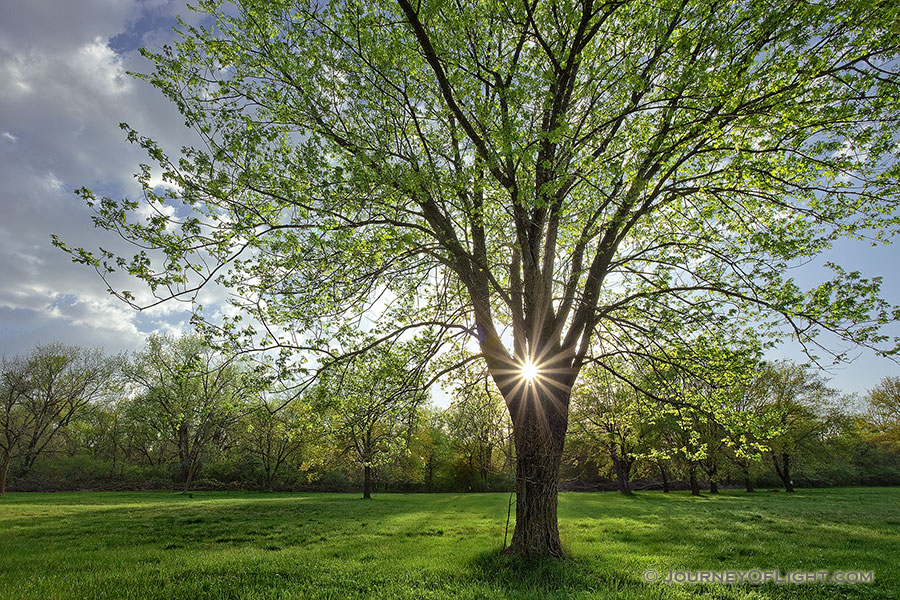 On a cool spring evening the sun shines through a budding maple tree at Two Rivers State Recreation Area. - Nebraska Photography