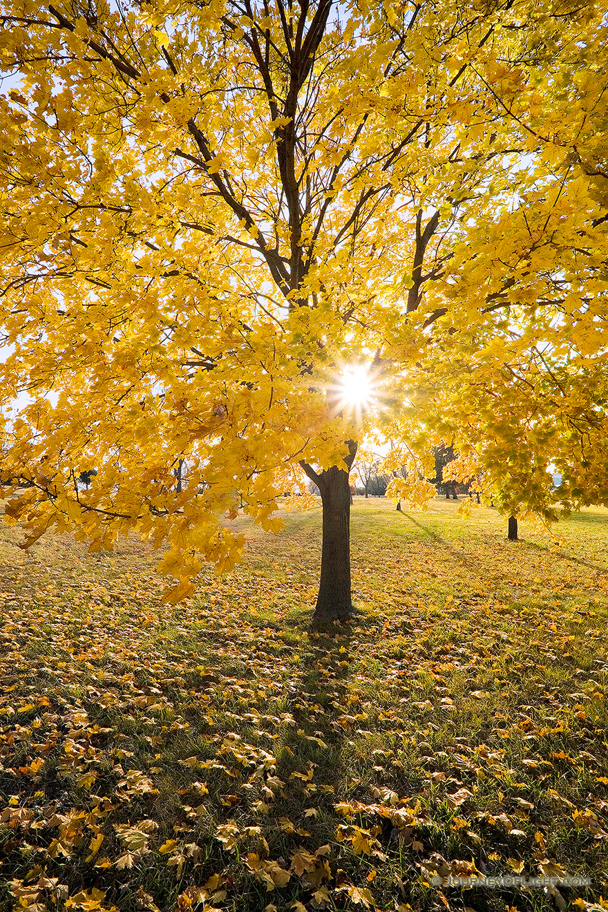 The sun shines through the branches of a maple whose leaves recently turned bright yellow at Branched Oak Lake State Recreation Area in Lancaster County, Nebraska. - Nebraska Picture