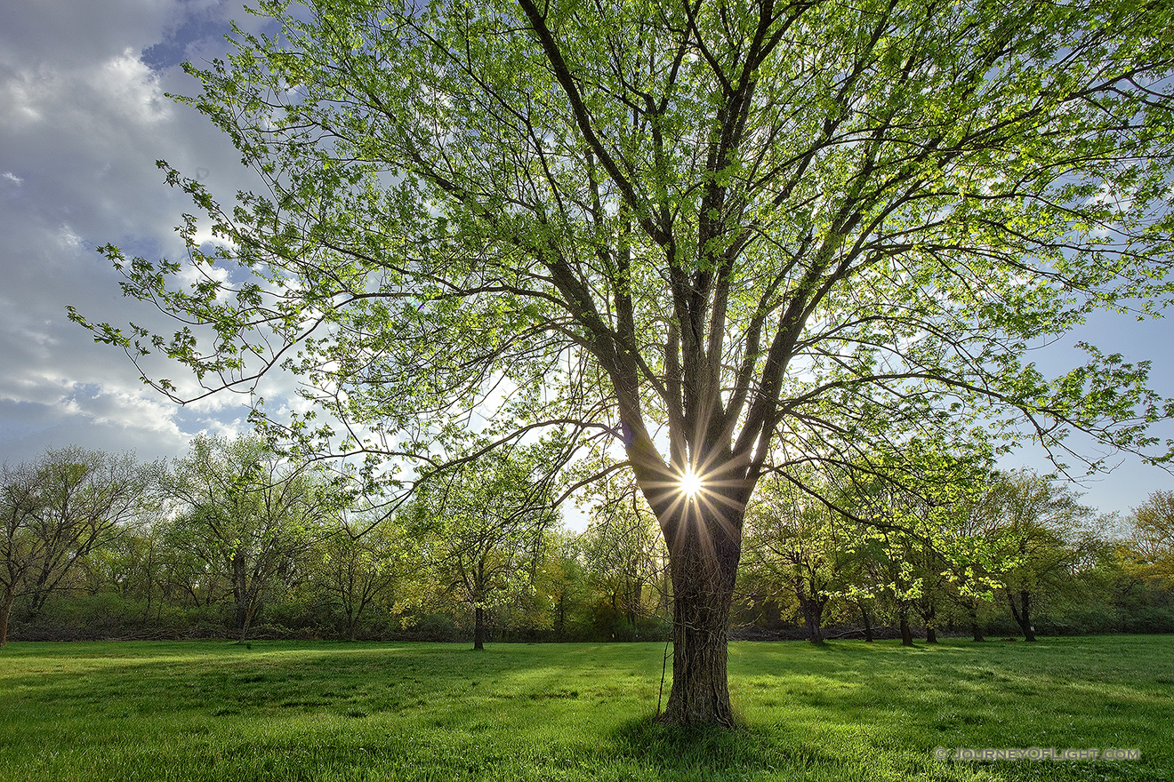 On a cool spring evening the sun shines through a budding maple tree at Two Rivers State Recreation Area. - Nebraska Picture
