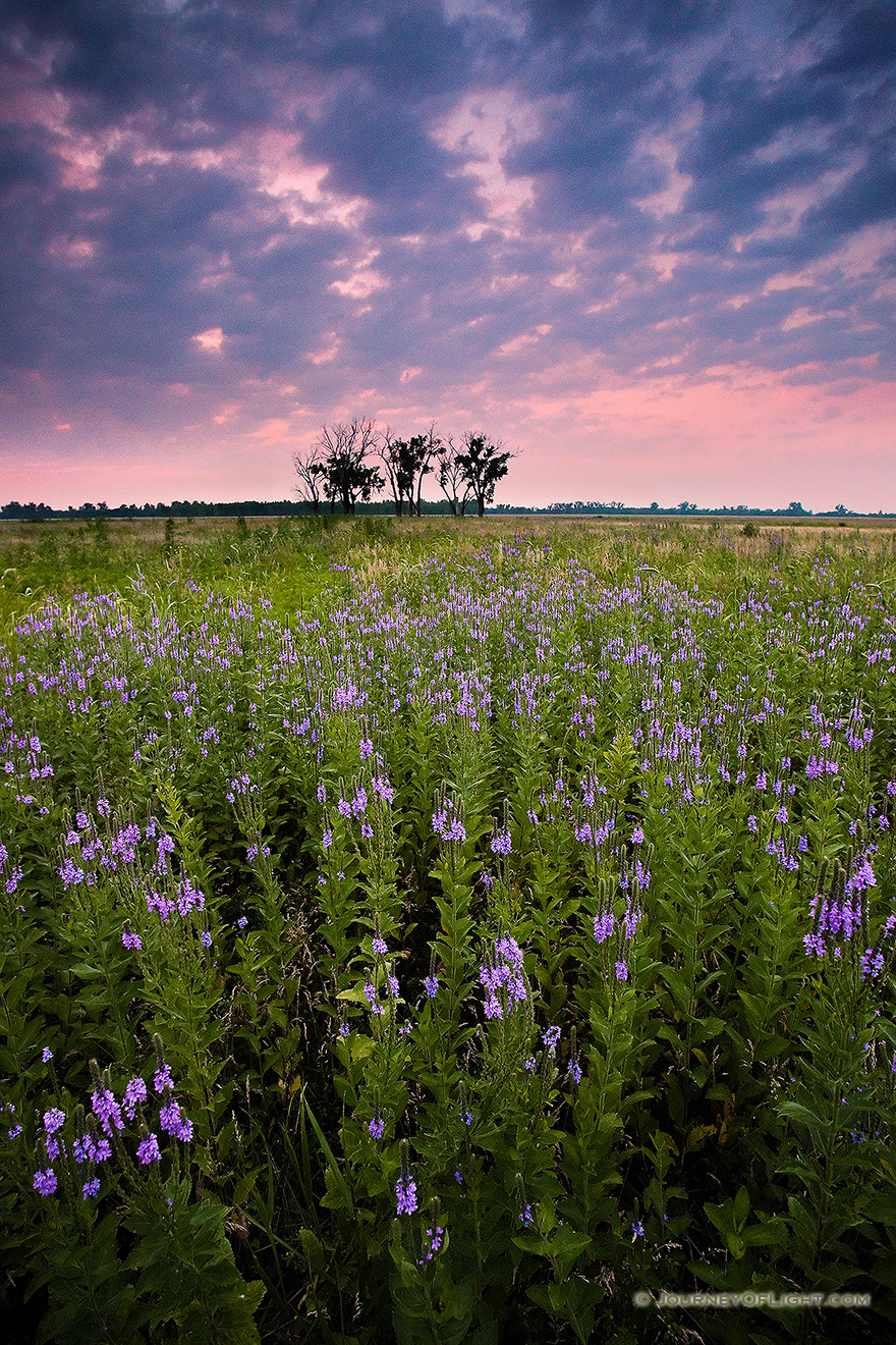 On a quiet evening on Boyer Chute National Wildlife Refuge, these purple flowers stand silently.  A pinkish sky is the last sign of the sun before the last light vanishes leaving the fields in darkness.  - Boyer Chute Picture