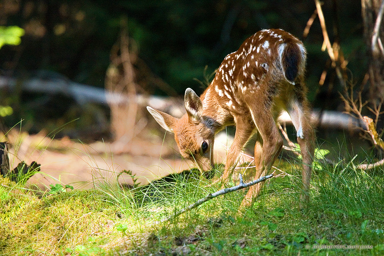 One of two very young fawns I saw playing with their mother while traveling through Mt. Rainier National Park. - Pacific Northwest Picture