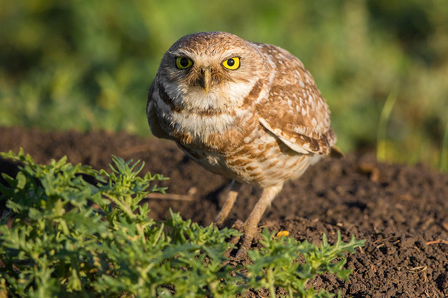 A burrowing owl is prepared to take flight to look for food for its family. - South Dakota Photography