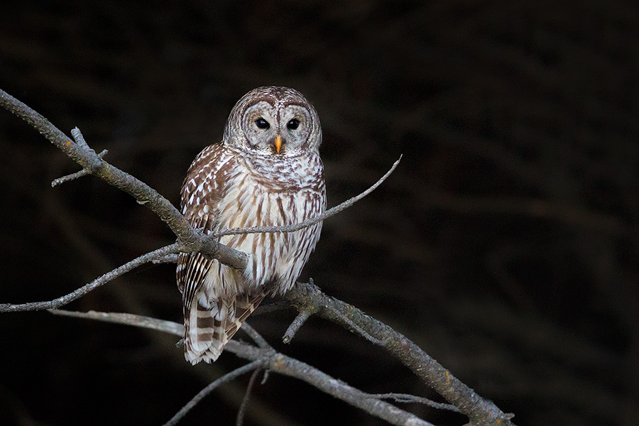 A Barred Owl watches quietly from a tree branch at Chalco Hills Recreation Area in eastern Nebraska. - DeSoto Photography