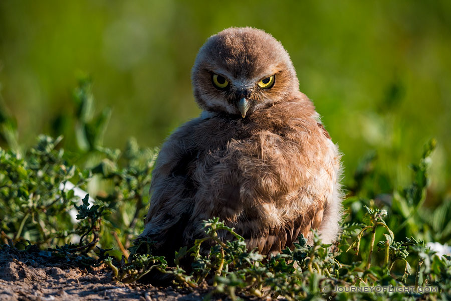 A burrowing owl chick looks over his wing in Badlands National Park, South Dakota. - South Dakota Photography