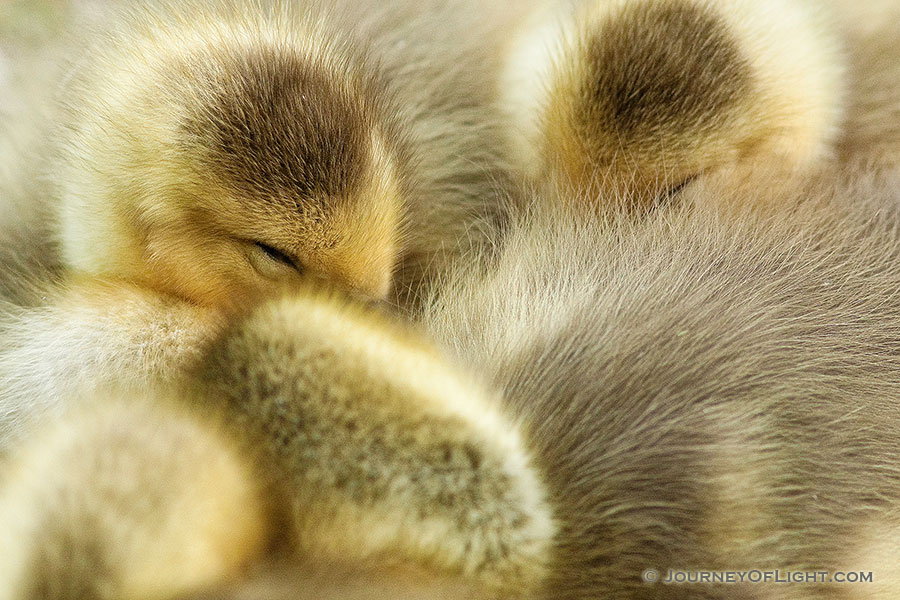 A gaggle of newly hatched gosling huddle together. - Schramm SRA Photography