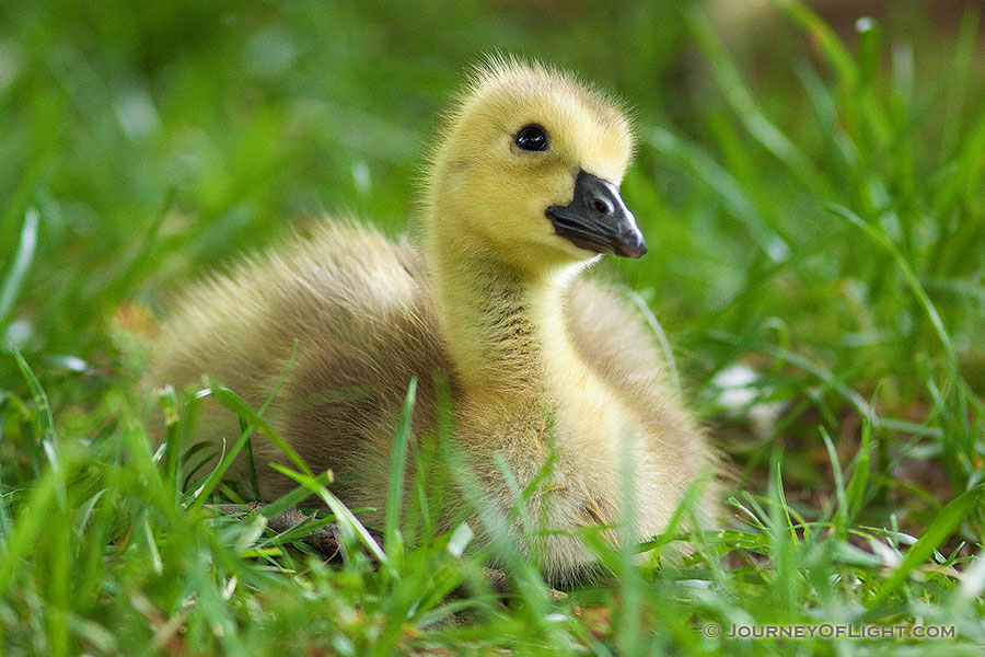 A gosling rests in the green spring grass while gazing into the distance at Schramm State Recreation Area. - Schramm SRA Photography