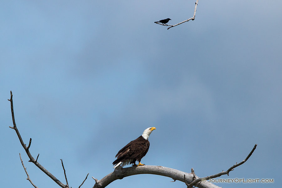 A crow taunts a Bald Eagle in high tree near his nest. Amazingly, the eagle ignored this visitor as he swooped by his head several times. Eventually, the crow tired and simply sat on this branch every so often cawing his indignation. - Sandhills Photography