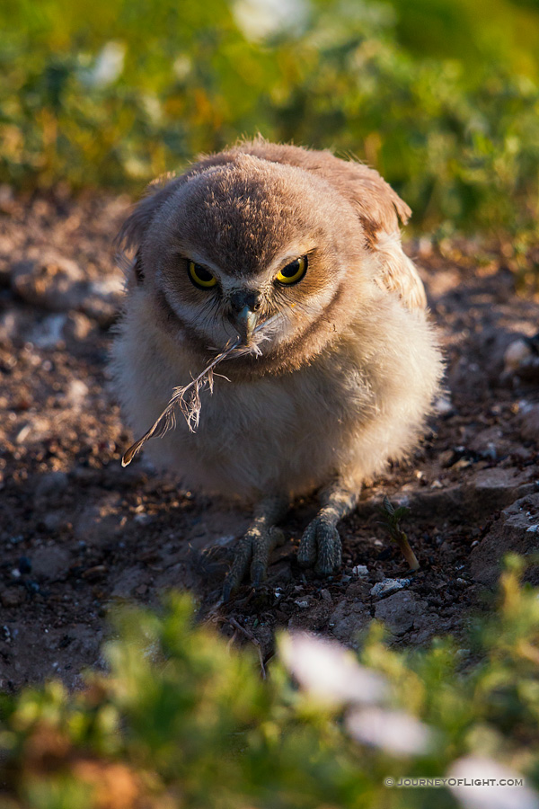 A burrowing owl chick picks up a fallen feather in Badlands National Park, South Dakota. - South Dakota Photography