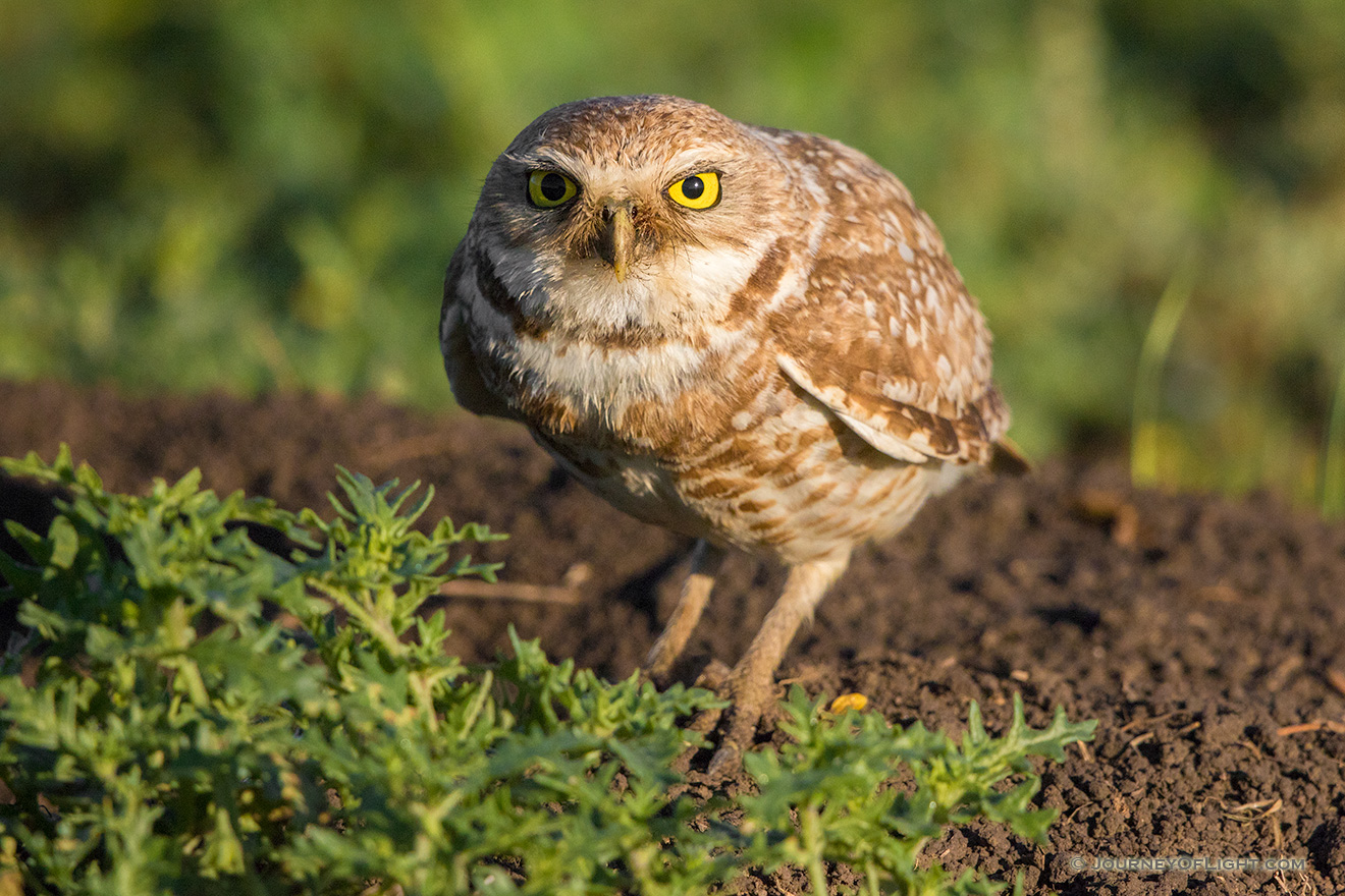 A burrowing owl is prepared to take flight to look for food for its family. - South Dakota Picture