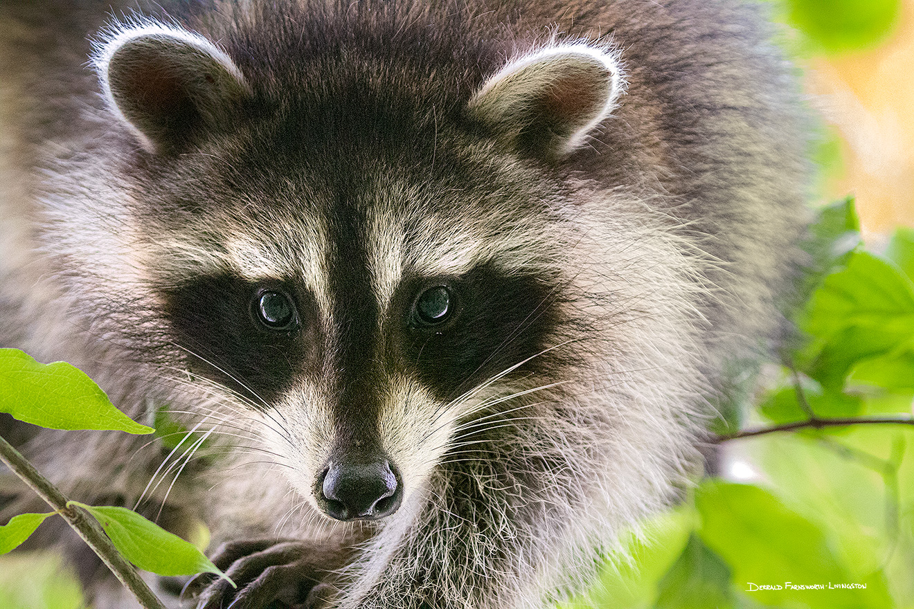 A wildlife photograph of a raccoon clinging to a tree at Fontenelle Forest in eastern Nebraska. - Nebraska Picture