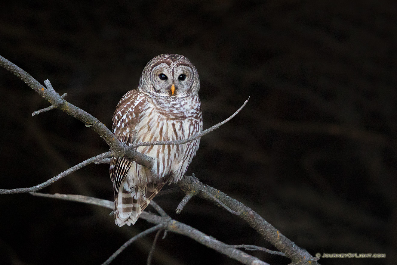 A Barred Owl watches quietly from a tree branch at Chalco Hills Recreation Area in eastern Nebraska. - DeSoto Picture
