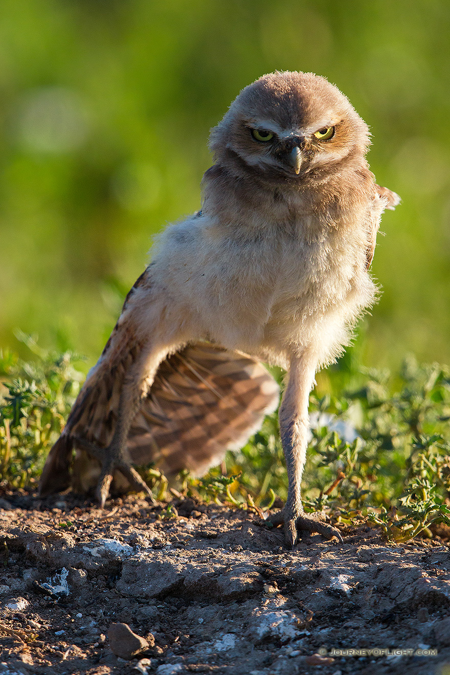 A young owl chick stretches his wing in the morning sun in Badlands National Park, South Dakota. - South Dakota Picture