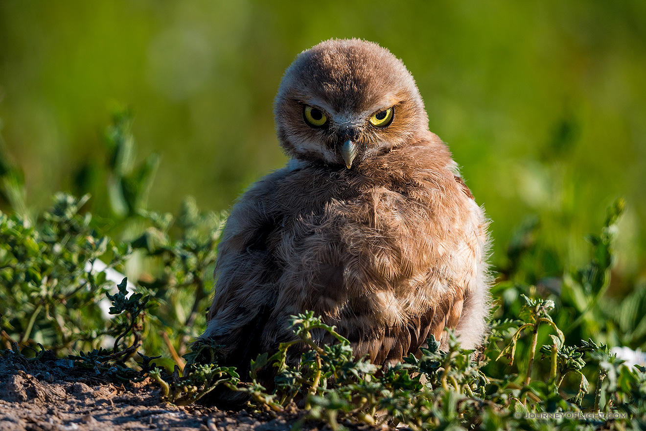 A burrowing owl chick looks over his wing in Badlands National Park, South Dakota. - South Dakota Picture