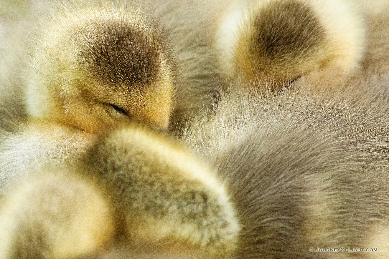 A gaggle of newly hatched gosling huddle together. - Schramm SRA Picture