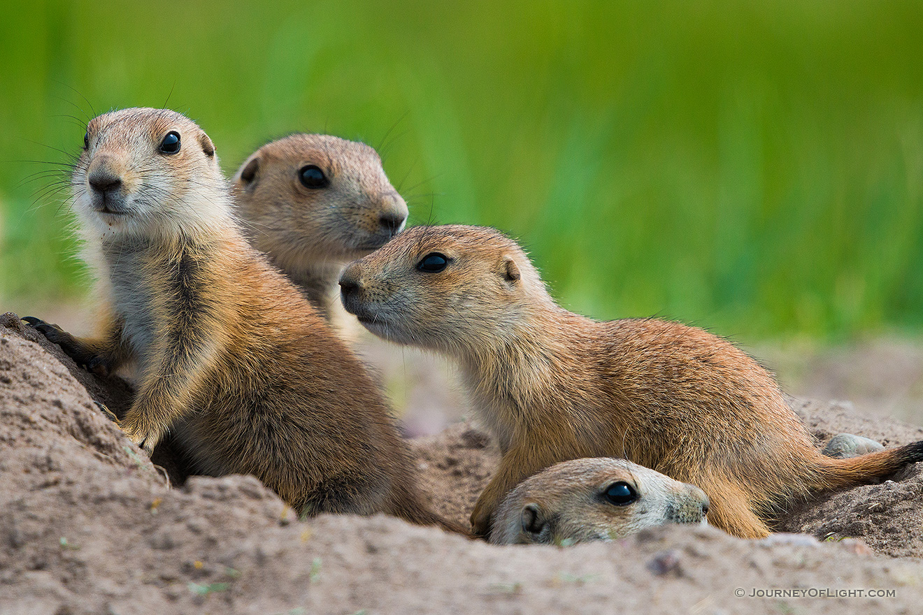 Prairie dog pups venture out of their hole at Ft. Niobrara National Wildlife Refuge. - Ft. Niobrara Picture