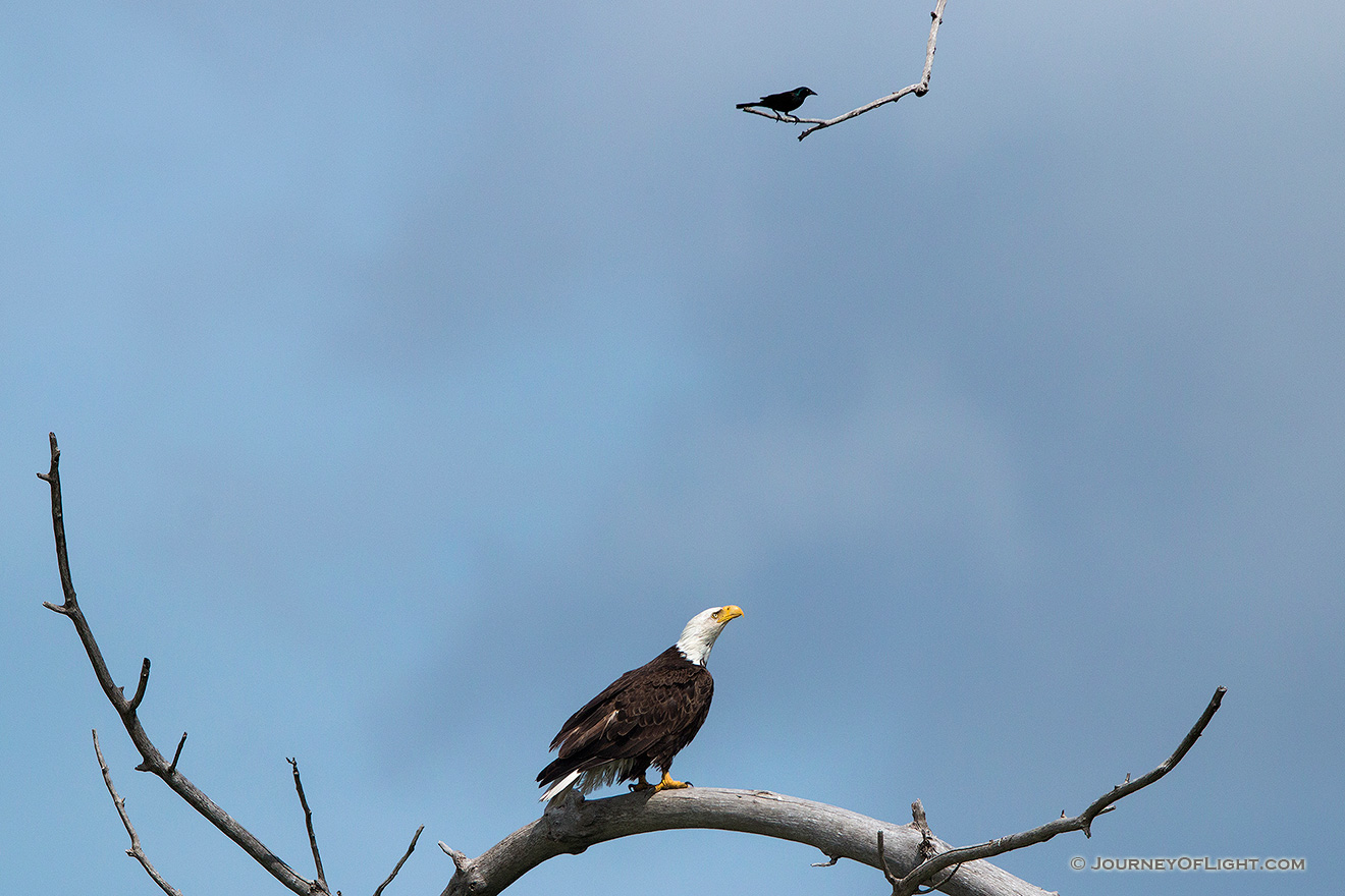 A crow taunts a Bald Eagle in high tree near his nest. Amazingly, the eagle ignored this visitor as he swooped by his head several times. Eventually, the crow tired and simply sat on this branch every so often cawing his indignation. - Sandhills Picture