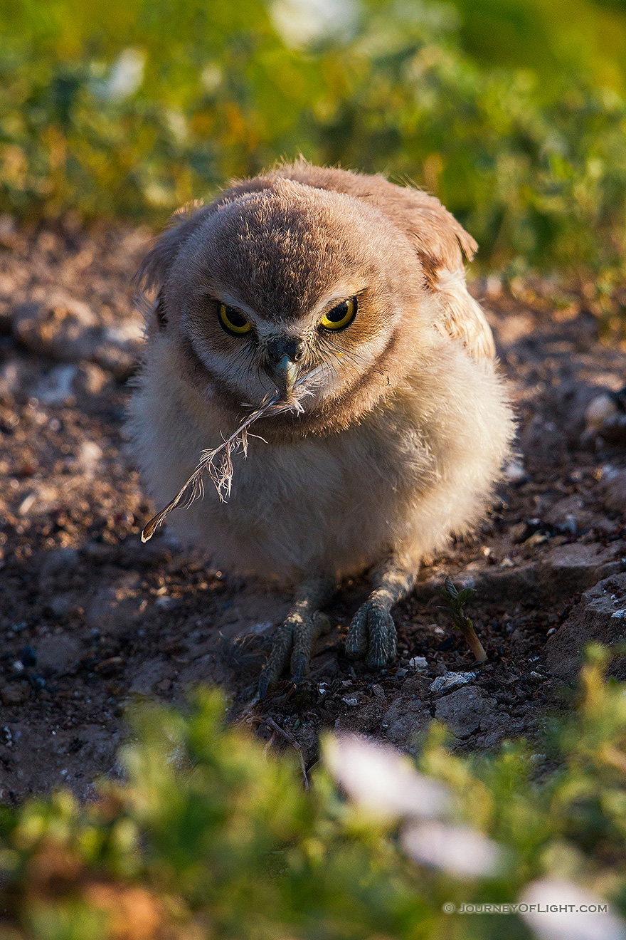 A burrowing owl chick picks up a fallen feather in Badlands National Park, South Dakota. - South Dakota Picture