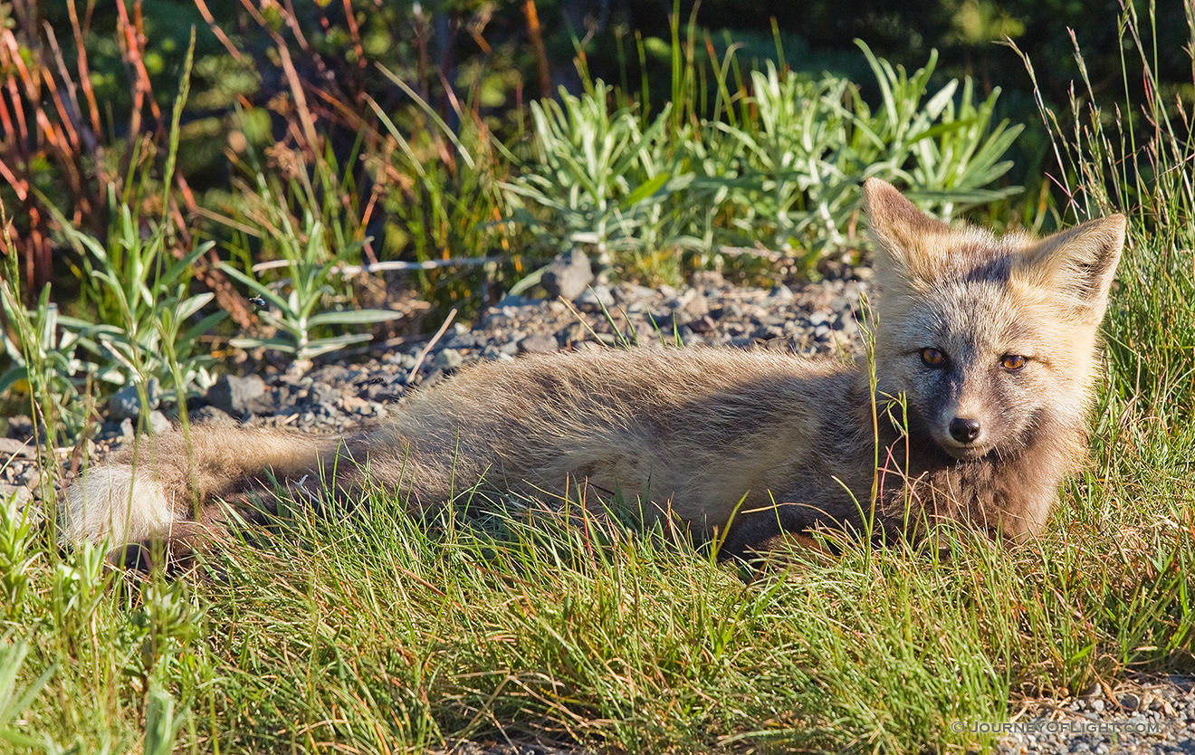 While driving down from Paradise in Mt. Rainier National Park, I came across three fairly young gray foxes playing.  When I stopped, the other two hid, but this one stayed and posed for me. - Pacific Northwest Picture