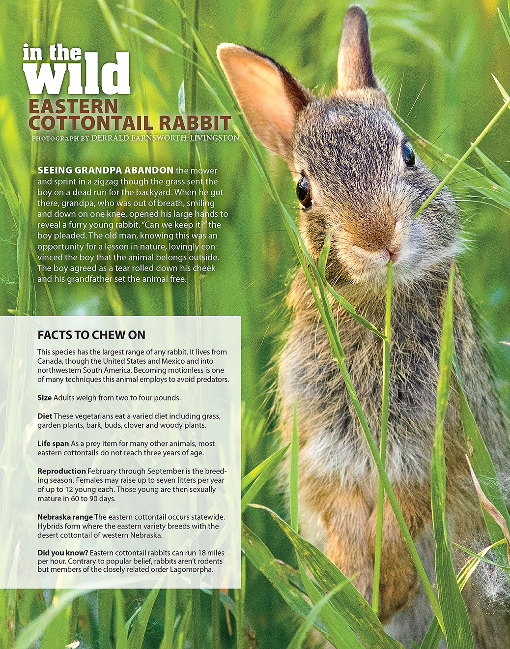 Eastern Cottontail Nebraska Life Article - May/June 2016.  Contributed photography. -  Picture