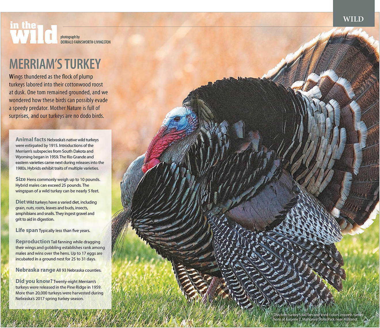 Nebraska Life May-June 2018 Turkey Feature.  Contributed Photograph. -  Picture